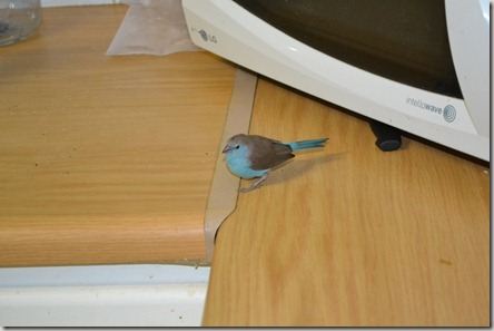 Bird in the house 004
